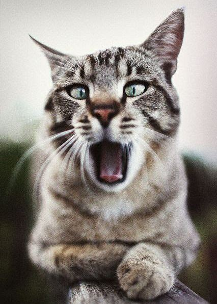 cats    yawn viral cats blog