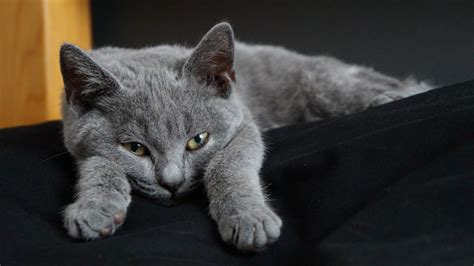 7 Cats Breed From Europe
