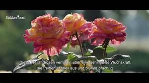 Blume Der Liebe : rosen die blumen der liebe und sch nheit youtube ~ Whattoseeinmadrid.com Haus und Dekorationen