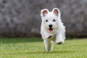 West Highland White Terrier wallpapers, Animal, HQ West ...