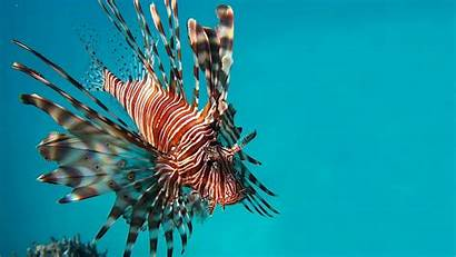 Fish Lion Lionfish Definition Wallpapers Resolution Animals