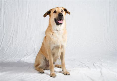 Chinook Puppies For Sale Akc Puppyfinder