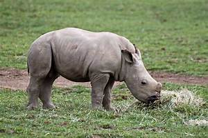 Baby rhino eating | Taken at Cotswold Wildlife Park and ...