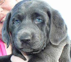 10 Things You May Not Have Known About Labrador Retrievers