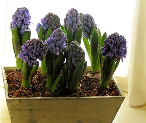 planter des jacinthes en pot for 231 age quelles plantes m 233 thodes