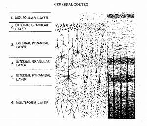 Cell Layers Of The Neocortex