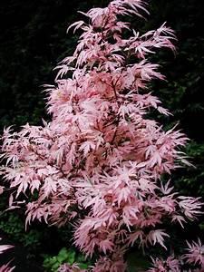 Bouture Plante Verte : fiche plante rable du japon ~ Melissatoandfro.com Idées de Décoration