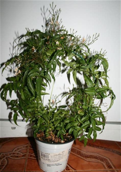 jasminum polyanthum en pot le culture entretien vari 233 t 233 s page 2