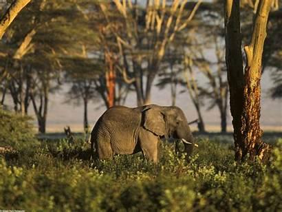 African Animals Wallpapers Africa Elephant Tanzania Jungle