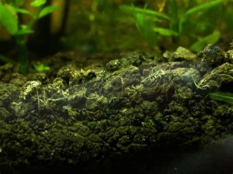 worms   shrimp tank  planted tank forum