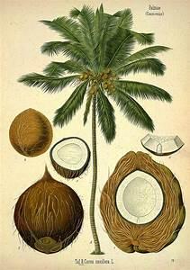 coconut botanical