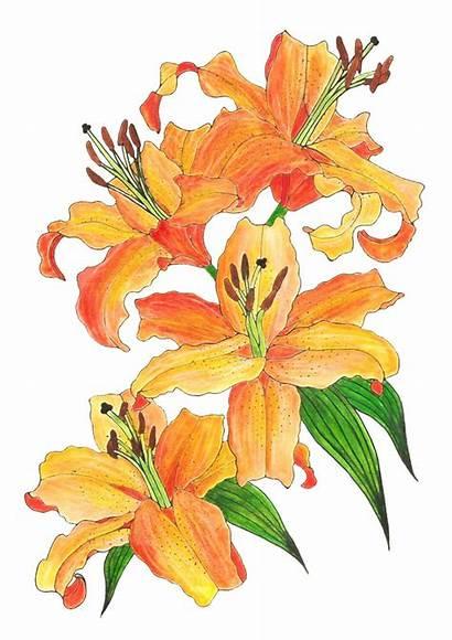 Lilies Flower Lily Orange Watercolor Flowers Drawings