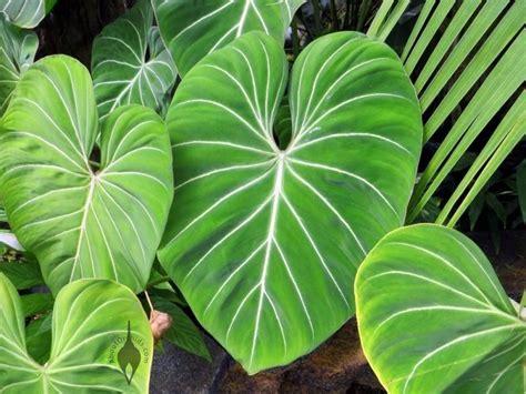 elephant plants imgs for gt elephant ear plant flower