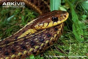 Common garter snake photo - Thamnophis sirtalis - G83133 ...