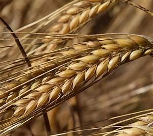 Barley Genome Sequenced  U2013 Plant Biotechnology Information