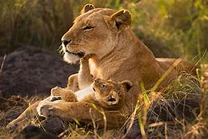 Africa | Lion Mother and Cub. Masai Mara National Reserve ...
