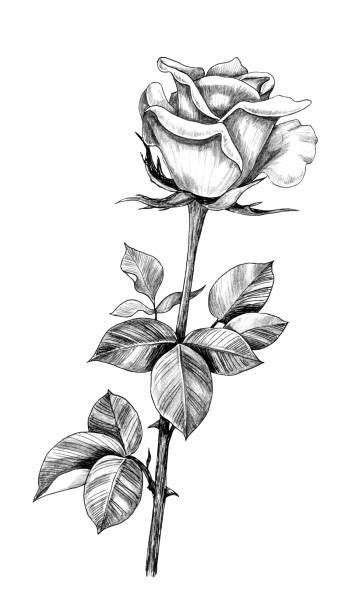 Top 60 Long Stem Roses Drawings | Tattoos | Flower outline tattoo, Flower tattoo shoulder