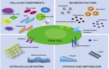 The Stem Cell Niche Home Of Stem Cells  Institute Of