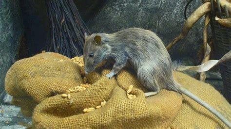 portland lives     rats  atlantic