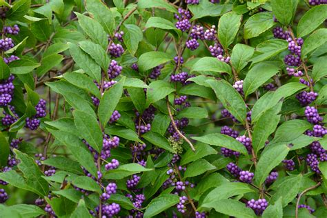 berry shrub november plant of the month beautyberry