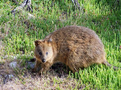 Quokka on Rottnest Island, Australia - OldEnoughToKnow.com