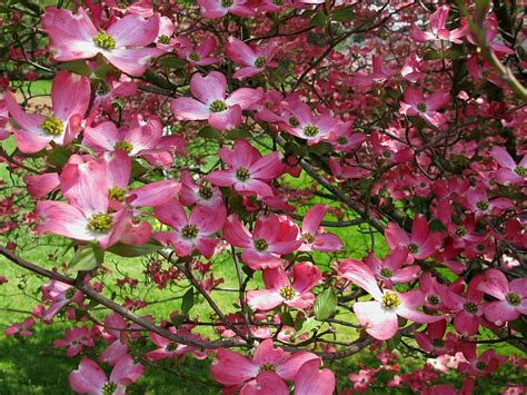 pink dogwood tree care trees lane forest products