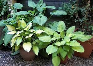 Kübelpflanzen Winterhart Schattig : hosta funkien als toppflanzen stauden aus k belpflanzen ~ Michelbontemps.com Haus und Dekorationen
