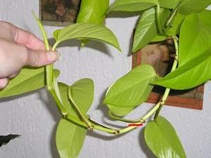 Efeutute Epipremnum mit Stecklinge vermehren Majas