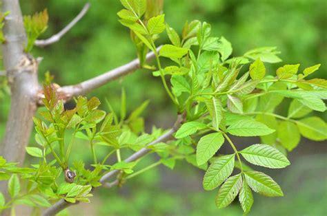 recettes cuisine rapide le frêne un arbre à planter au jardin les différentes