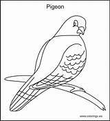 Pigeon Coloring Pages Colorings Print Bird Drawing Pigeons Printable Farm Quilt Birds Template Books Sketch Ws Getdrawings sketch template