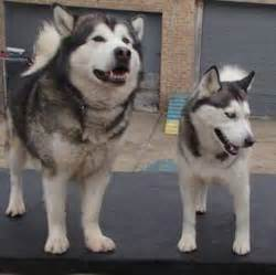 what are the differences between malamutes and huskies especially if one is considering them as