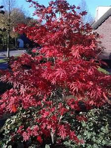 Kleine Bäume Bis 3m : acer palmatum 39 atropurpureum 39 japanse esdoorn in herfst ~ Articles-book.com Haus und Dekorationen