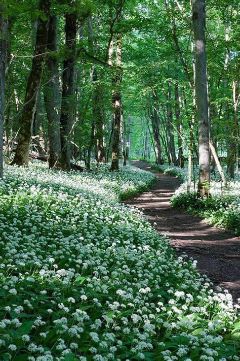fleurs de ciboulette en cuisine ail des bois plus subtil que l 39 ail classique vertus et