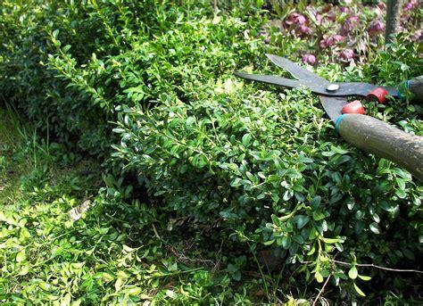 buchsbaum schneiden 03 starker r 252 ckschnitt im april krankheiten pflege beginnender austrieb