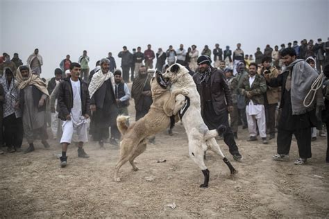 Afghan spectators watch as two fighting mastiff dogs
