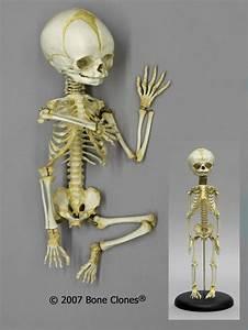 Articulated Flexible Human Fetal Skeleton 32 Weeks - Bone Clones  Inc