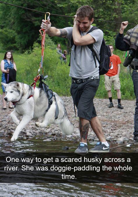 hilarious posts  huskies  bored