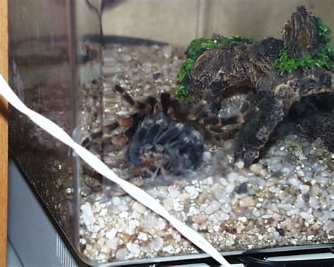 Do Tarantulas Shed Their Legs by Shedding Tarantula