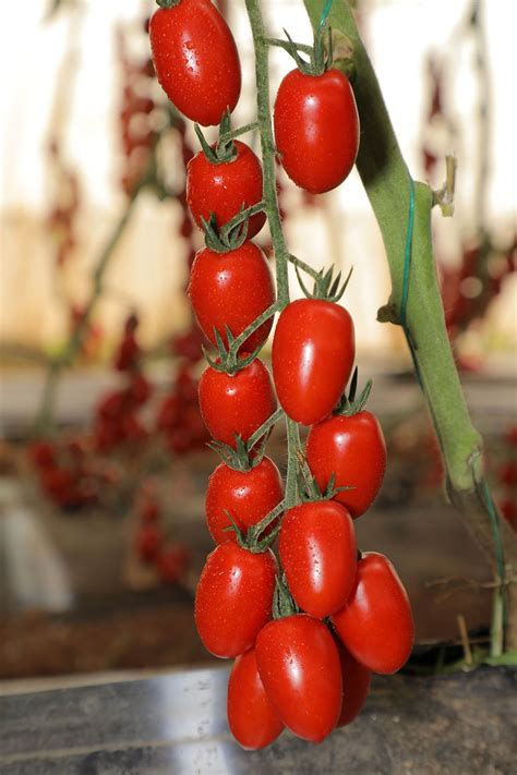 trust seeds   tomato ts   hybrid