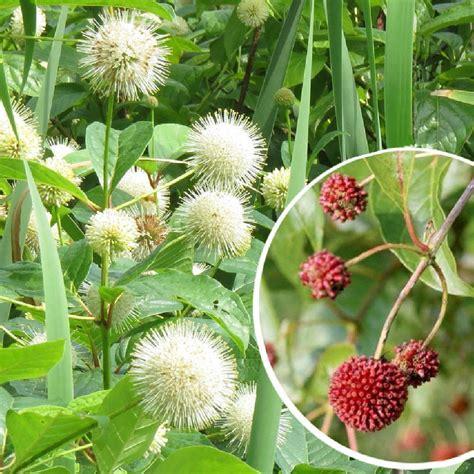 CEPHALANTHUS occidentalis - Bois-bouton - pépinières ...