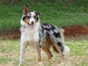 Border Collie Merle | Border Collies and Aussies(: | Pinterest