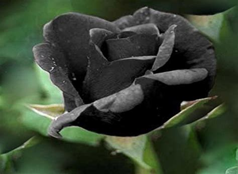 Black Rose Flower Rare ! 5 Seeds!   Buy Online in UAE