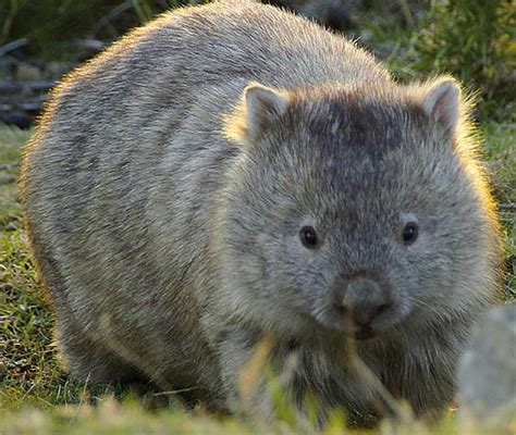 wombat facts history  information  amazing pictures