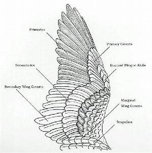Birds Of A Feather  Update Wing Anatomy And Joints