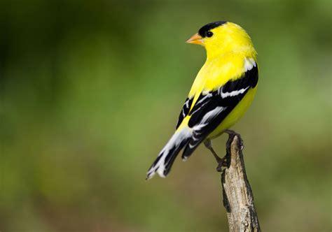 hinterland whos  american goldfinch