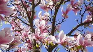 Fleur De Magnolia : eclosion de fleurs printemps 2012 magnolia senteur by ~ Melissatoandfro.com Idées de Décoration