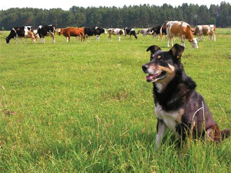farm dog breeds animals grit magazine