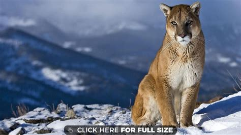 Free Animal Wallpapers For Desktop - mountain animal desktop hd wallpaper