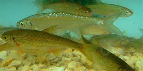 cuisiner du poisson blanc le blageon petit poisson blanc des eaux vives cousin du hotu