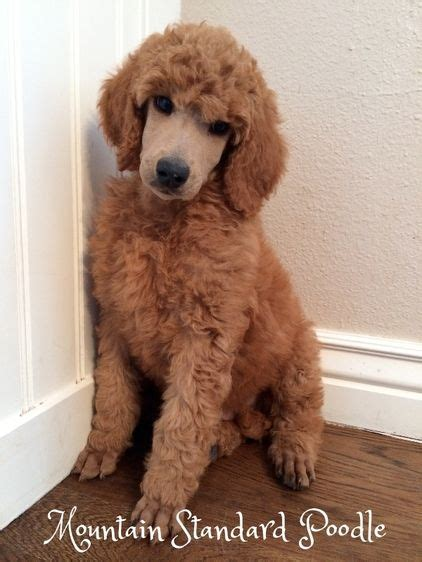 red standard poodle puppy  sale standardpoodle pets